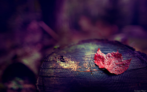 The first trees to change colors are usually the red maples, and this leaf lays silently on the stump of a forgotten relative - Georgetown, Maine.