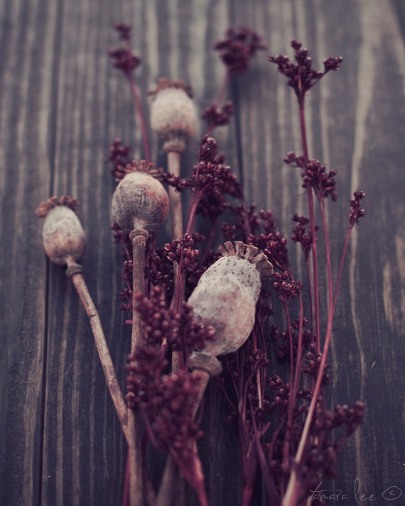 Seeds poppy pods