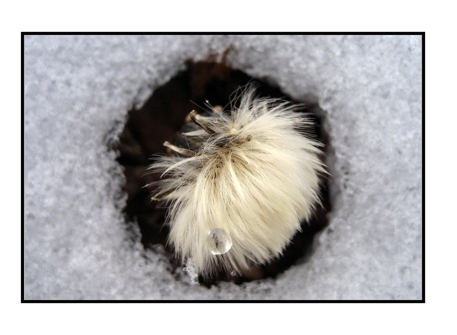 Winter Dandelion in Melting Snow