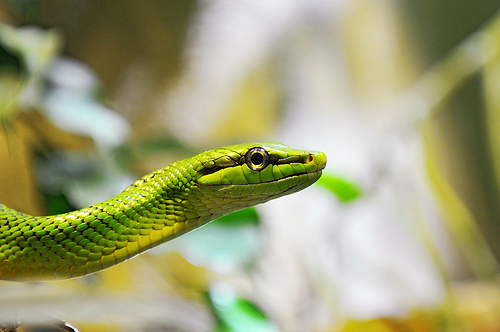 Portrait of a green snake