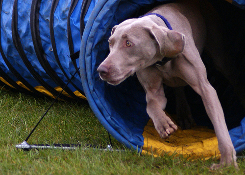 Weimaraner in Tunnel dog