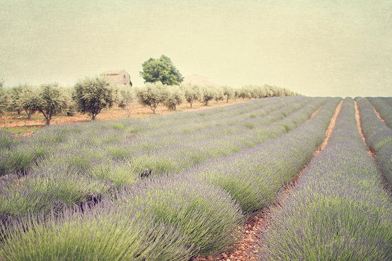 So Provence lavender field