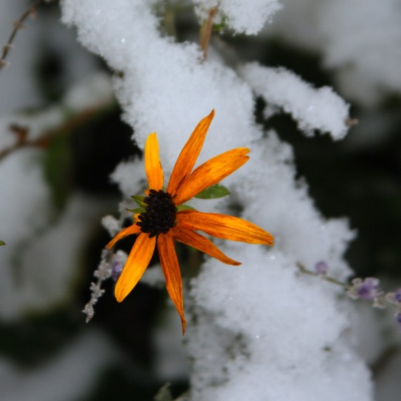 Black eyed Susan in the Snow flower