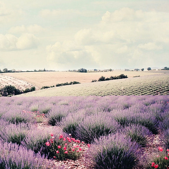 Lavender field and rolling hills