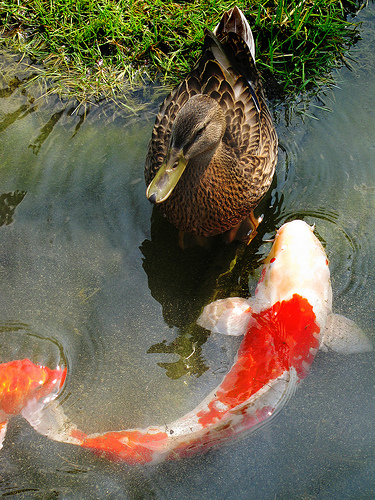15 great pictures of koi fish for Koi fish net