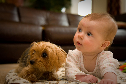 yorkie and baby