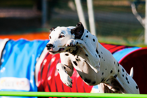 DOG - Agility Elites - Taco