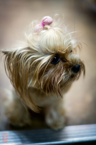 Shop Dog yorkshire terrier