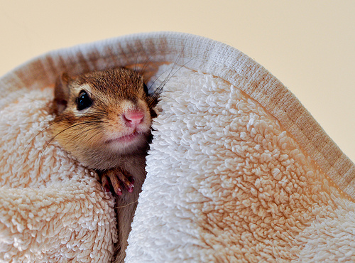 chipmunk in towel