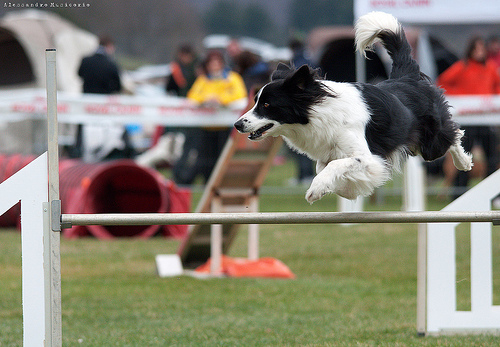 Fly Fly! Border collie in action! dog