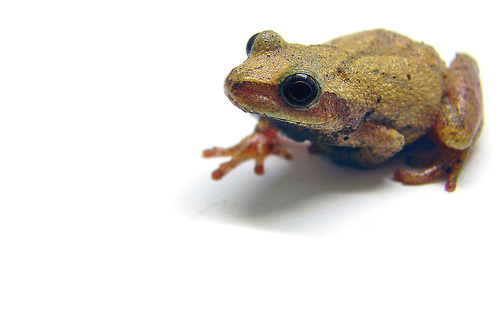 Northern Spring Peeper tree frog