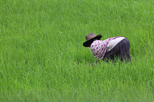 Madagascar rice paddy field