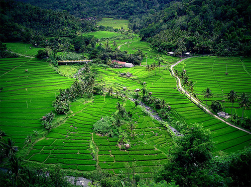 Green Carpet rice paddy field