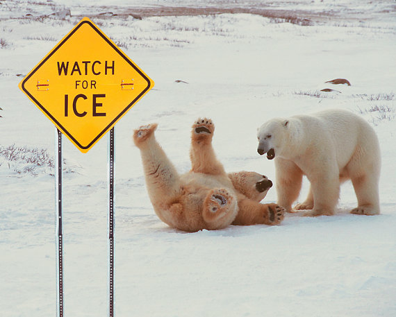 Polar Bears Slip On Ice