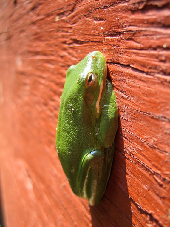Tree Frog Calvert Cliffs Maryland