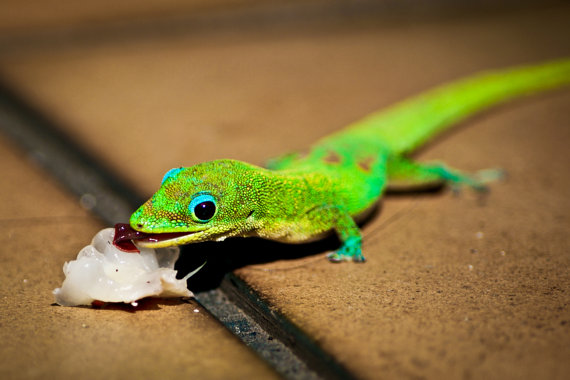 Gecko with Lychee Fruit