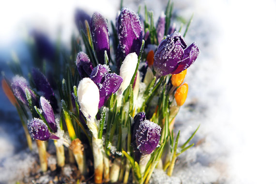 Crocus flower snow