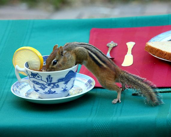 Tea Time chipmunk