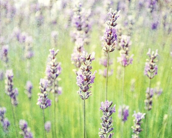 Peacefulness of Lavender fields