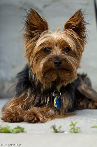 27 Cute Pictures Of Yorkshire Terriers
