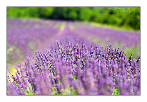 Smell the Lavender fields