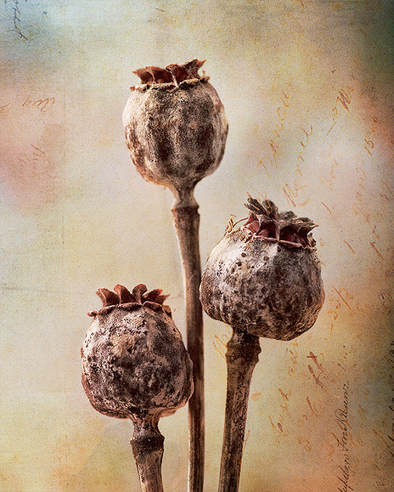 dried poppy pods