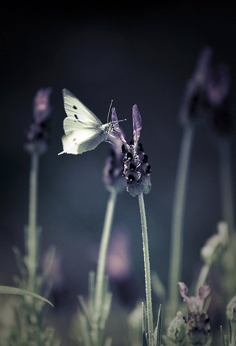 Lavender Dreams butterfly