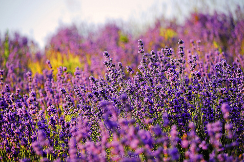 Earth laughs in flowers lavender fields
