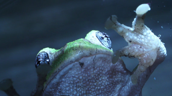 Bette Davis Eyes tree frog