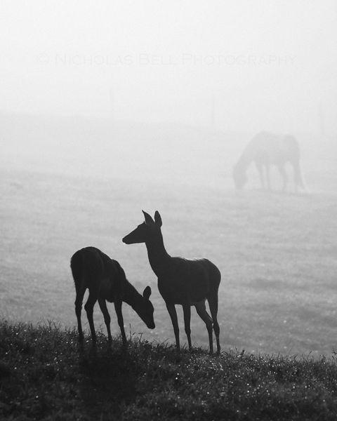 Whitetail Silhouettes deer