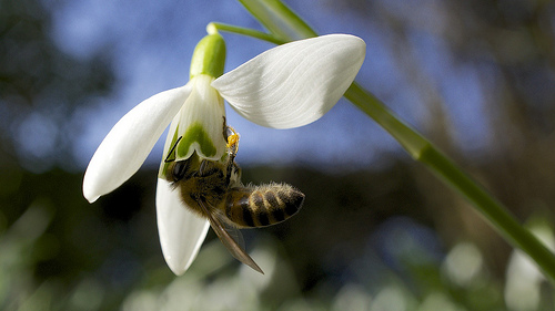 snowdrop with bee