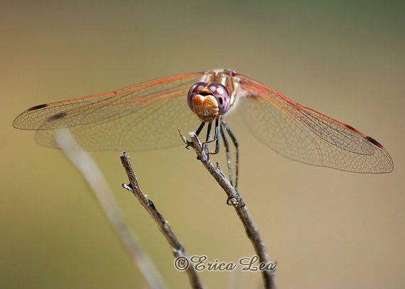 Little Captain dragonfly