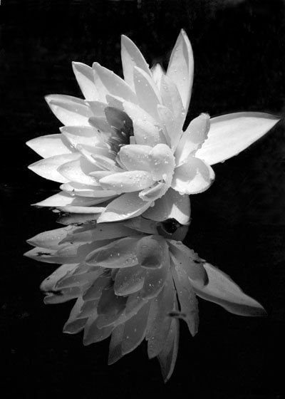 water lily black and white photography