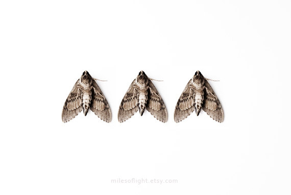 brown moth
