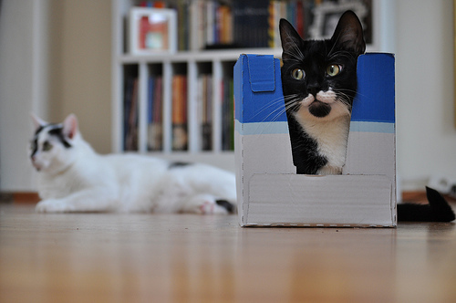 cat Hiding in a box