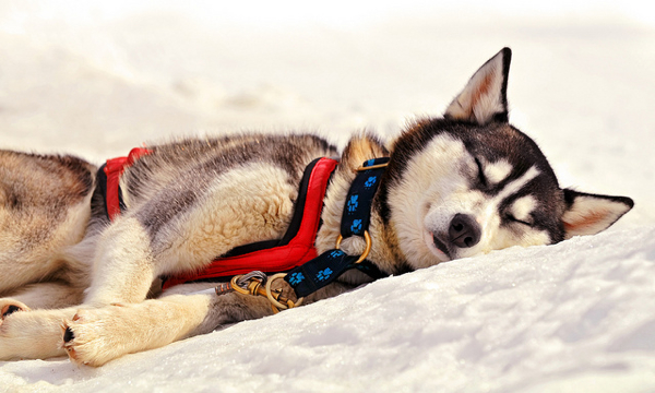 Sleeping husky by Tambako the Jaguar