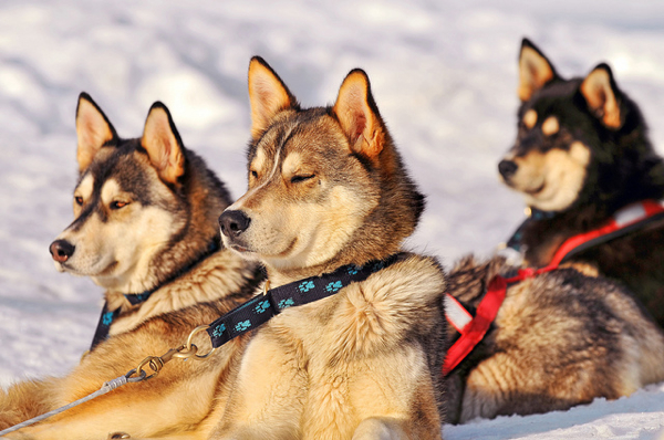 Three huskies by Tambako the Jaguar