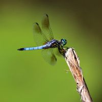 Rare Iridescent Aqua Stained Glass Dragonfly limited |Iridescent Dragonflies