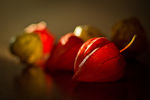 Physalis Alkekengi chinese lanterns