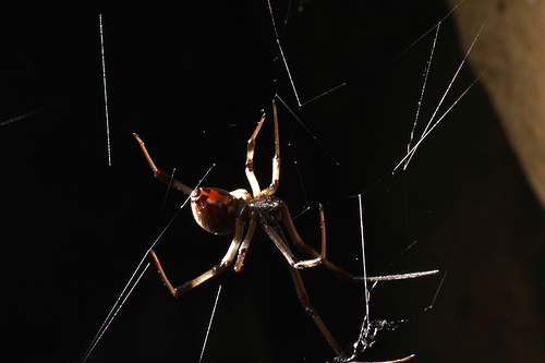 Button spider (black widow) by the gate - illuminated from behind to show web