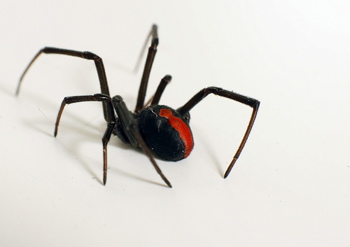 Redback (Black Widow) Spider