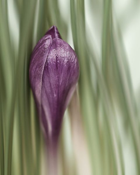 pureple crocus