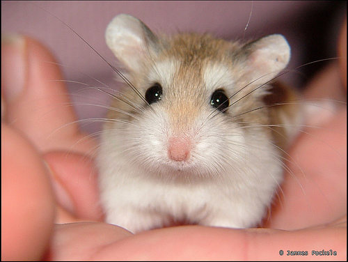 Hamsters With Big Ears Big Ears Again by Jannes