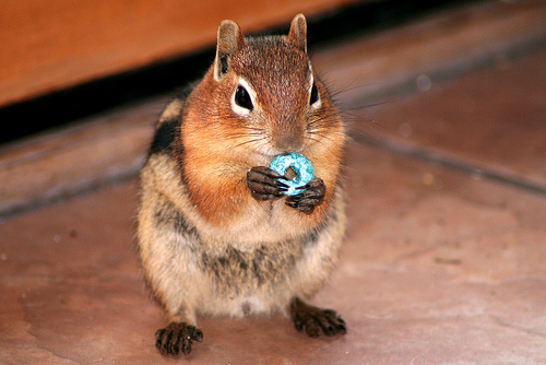 Fruit Loop squirrel chipmunk eating