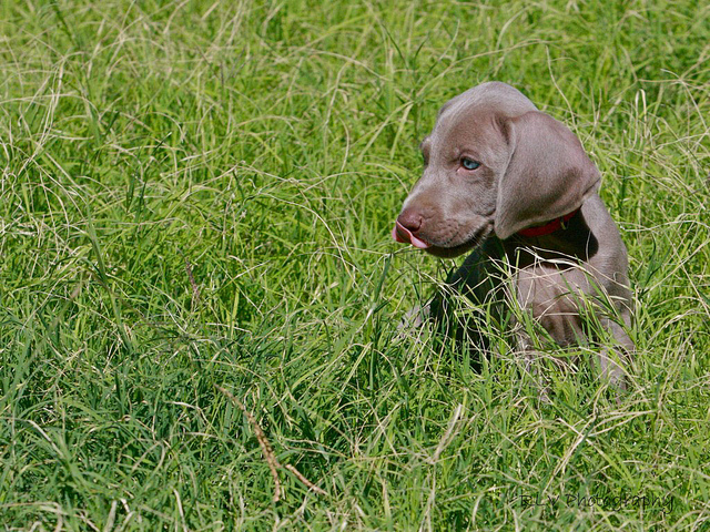 Puppy Field Evaluations