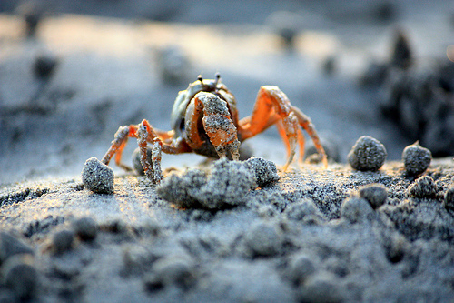 Baby crab along the mangrove beach in Palawan, Philippines