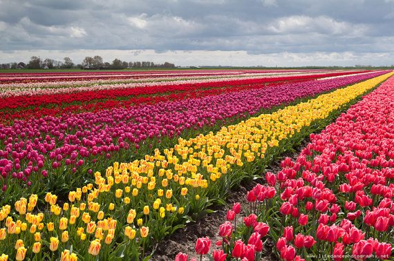 25 Amazing Tulip Field Pictures