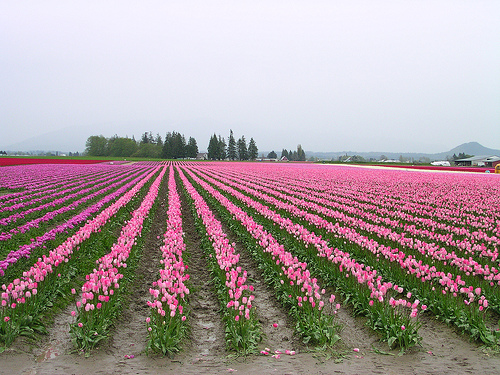 pink tulip fields