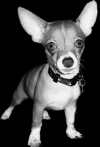 25 cool chihuahua pictures