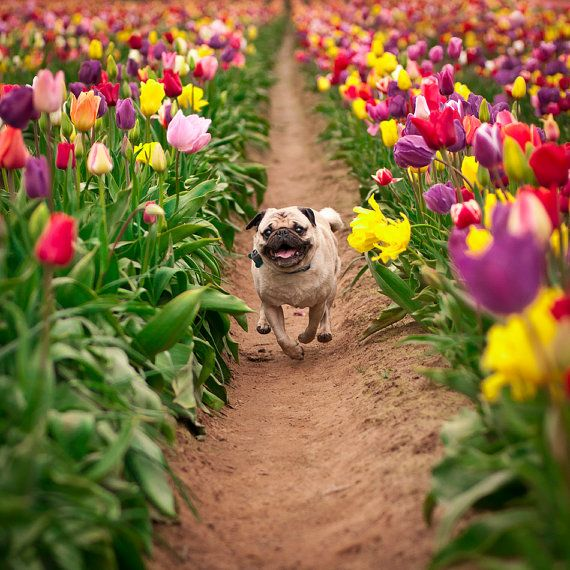 Portrait of a Pug in a Tulip Field